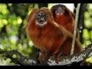 Dois micos-leões-dourados são encontrados mortos em Silva Jardim, no RJ